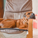Learn About The Boxer Dog