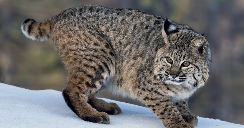 Bobcat picture and information, Bay Lynx (Lynx ruffus) – nic's pic kwik