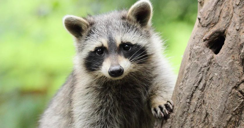 Raccoon picture and information (Procyon lotor) – lone star pet supply