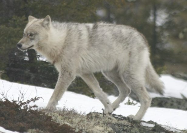 Gray wolf picture and information, Timber wolf (Canis nubilus) – picarro inc